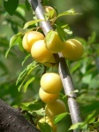 Wild golden plums. A couple made it into my happy tummy!